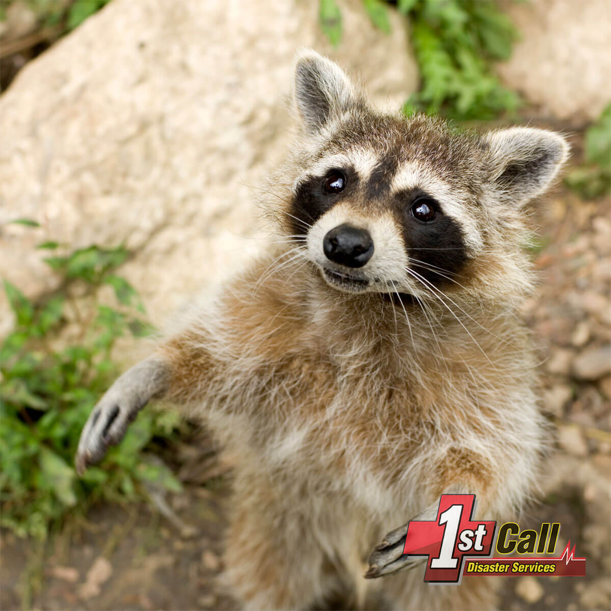 Raccoon Damage Cleanup in Covington, KY